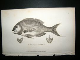 Shaw C1810 Antique Fish Print. Bufonite Sparus